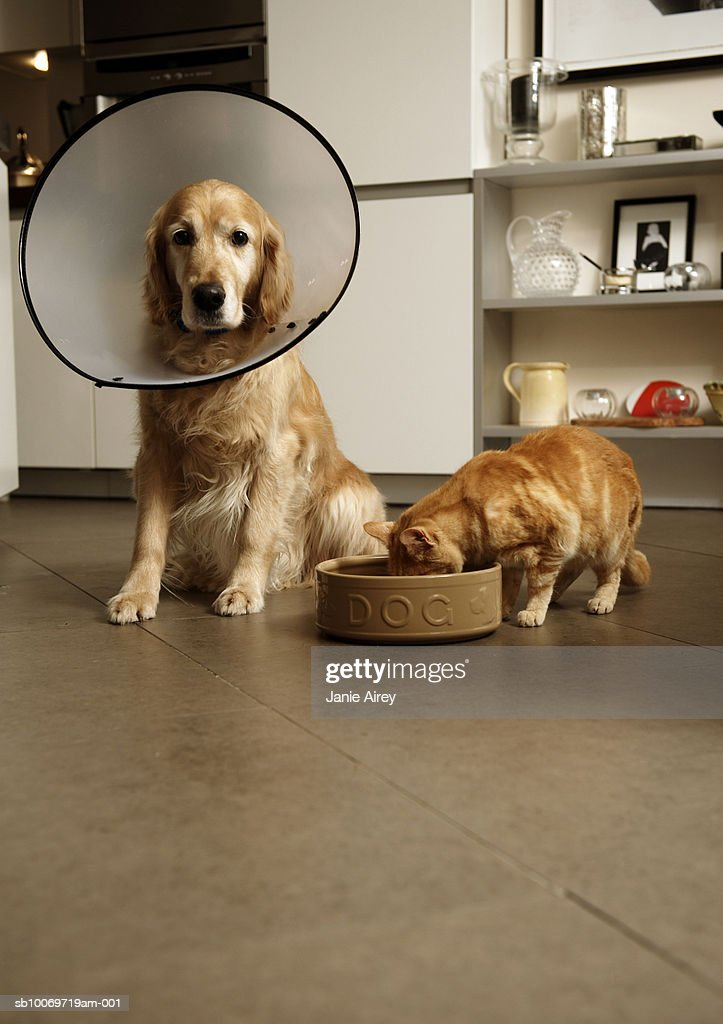 Golden retriever dog with medical collar sitting next to ginger tabby cat eating out of dog's food bowl : Stock Photo