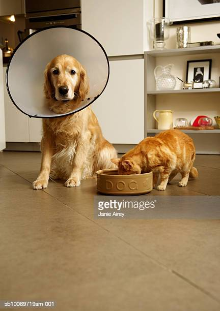 golden retriever dog with medical collar sitting next to ginger tabby cat eating out of dog's food bowl - elizabethan collar stock photos and pictures