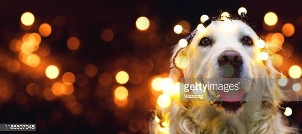 golden retriever dog with red hat - christmas dog stock pictures, royalty-free photos & images