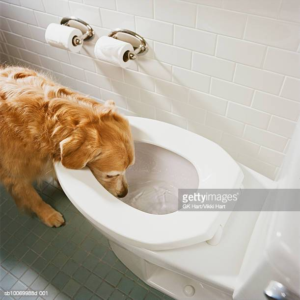 Golden retriever drinking water from toilet bowl, high angle view