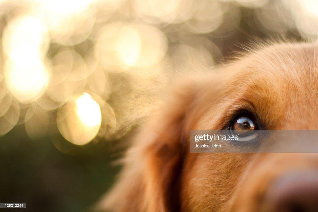 Golden Retriever eyes of devotion : Stock Photo