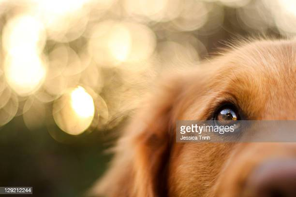 golden retriever eyes of devotion - golden retriever stock pictures, royalty-free photos & images