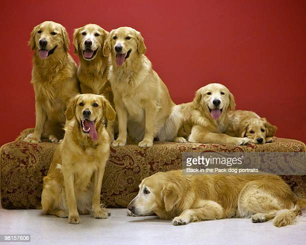 golden retriever family portrait - medium group of animals stock pictures, royalty-free photos & images