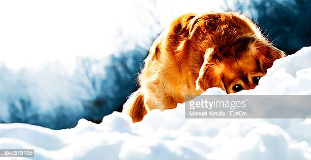 Golden Retriever Hiding In Snow Against Sky
