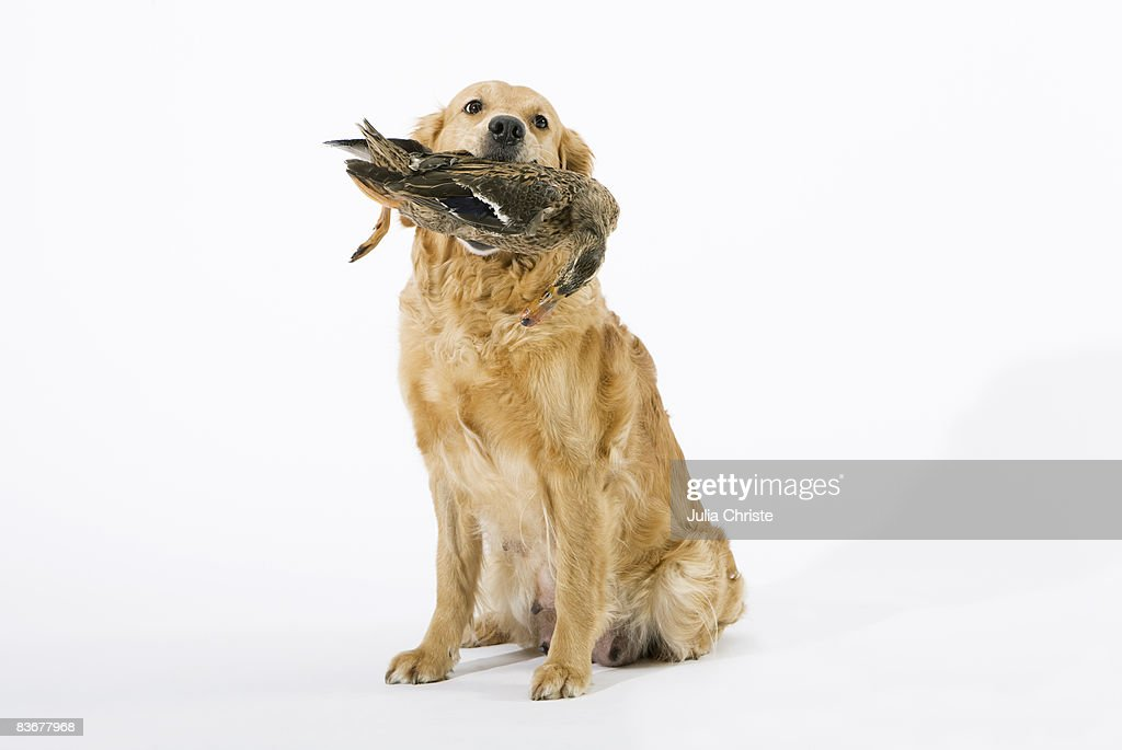 A Golden Retriever holding a dead duck in its mouth : Stock Photo
