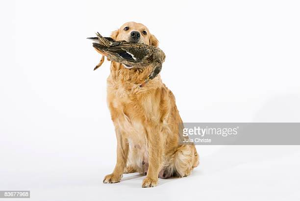 a golden retriever holding a dead duck in its mouth - dead dog stock pictures, royalty-free photos & images