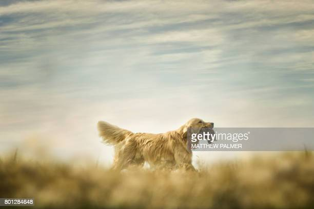 golden retriever hunting - hunting dog stock pictures, royalty-free photos & images