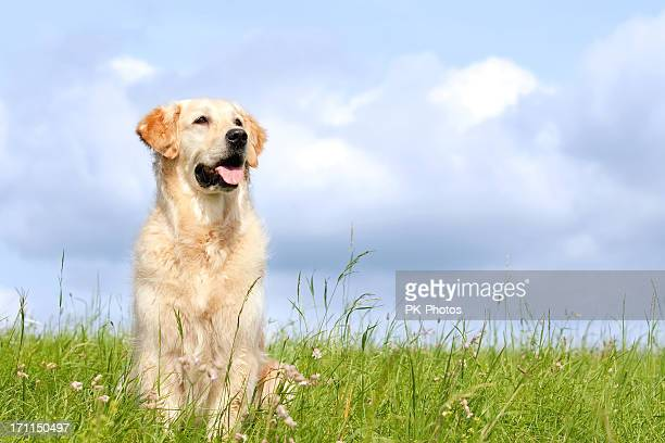 golden retriever in a field with a cloudy sky - golden retriever stock pictures, royalty-free photos & images