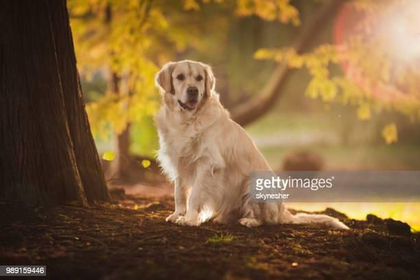 golden retriever en journée d'automne au parc. - golden retriever photos et images de collection