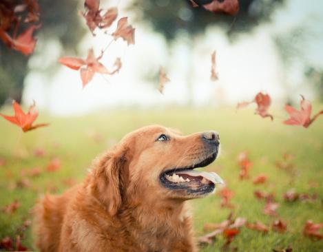 Golden Retriever in autumn - gettyimageskorea