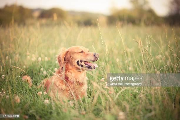 Golden Retriever in Long Grass