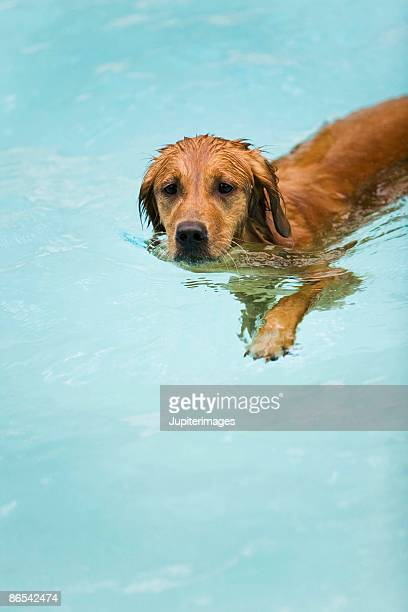 Golden retriever in swimming pool
