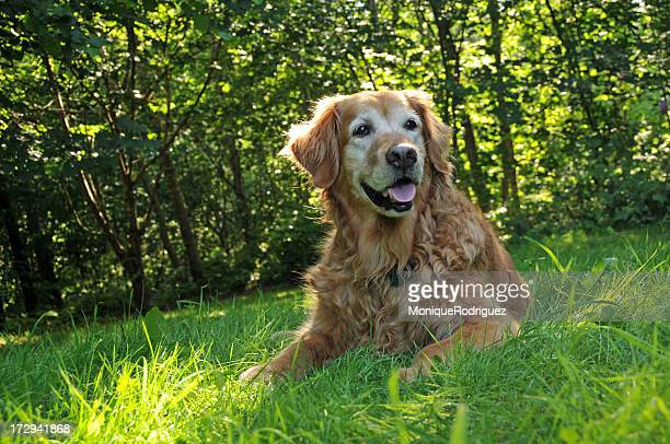 Golden retriever in the grass in front of trees