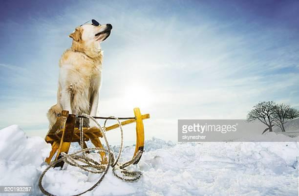 Golden retriever in winter.
