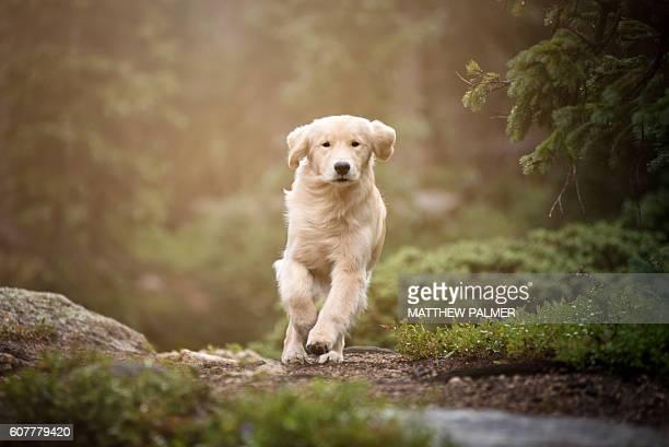 golden retriever in woods - golden retriever photos et images de collection