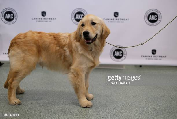 A Golden Retriever is pictured during a press conference by the American Kennel Club in New York on March 21 to announce America's top ten most...