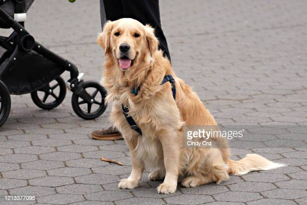 Golden Retriever is seen in Central Park as the coronavirus continues to spread across the United States on March 18, 2020 in New York City. The...