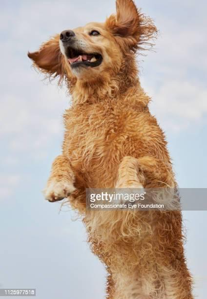 Golden Retriever jumping on beach