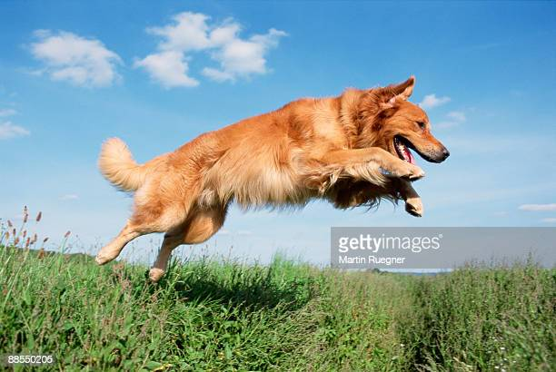 golden retriever jumping - golden retriever stock pictures, royalty-free photos & images