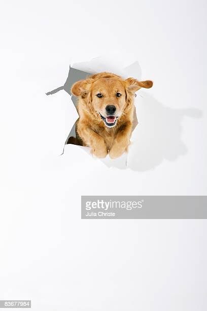 A Golden Retriever jumping through white paper