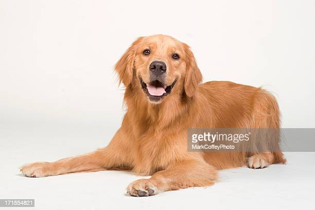 golden retriever laying down - golden retriever stock pictures, royalty-free photos & images