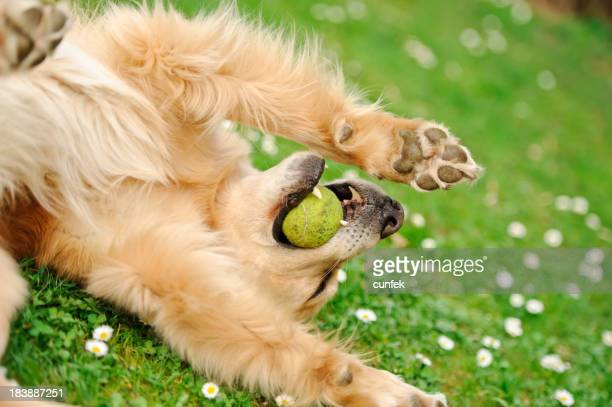 Golden retriever laying with a ball in its mouth