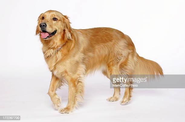 Golden Retriever jambe