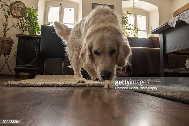 Golden Retriever Living Room