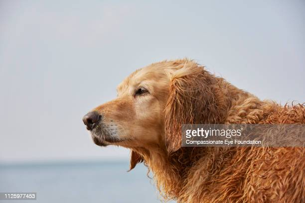 Golden Retriever looking at sea view