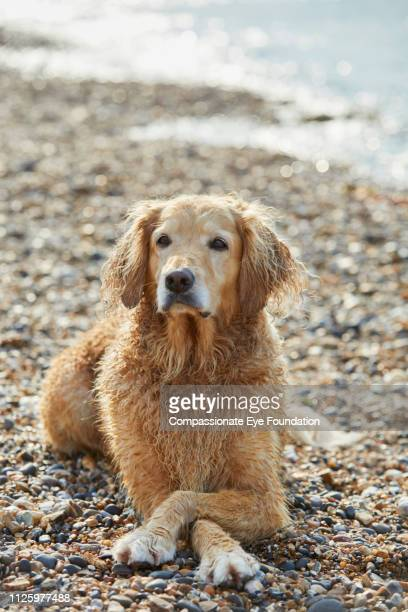 Golden Retriever lying with paws crossed on beach