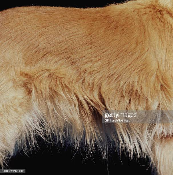 golden retriever, mid section, side view, close-up - animal hair stock pictures, royalty-free photos & images