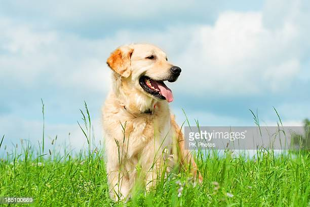 golden retriever on a meadow - golden retriever stock pictures, royalty-free photos & images