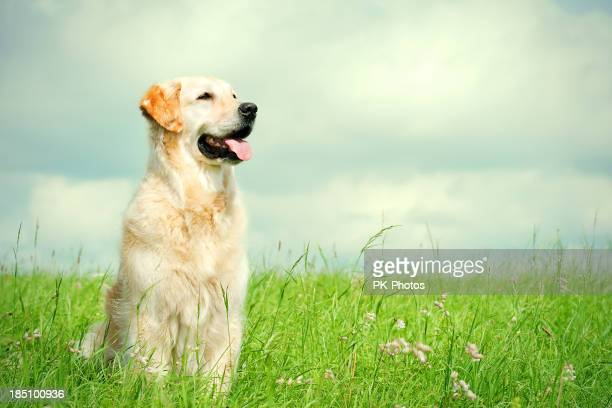 golden retriever on a meadow - golden retriever stock photos and pictures