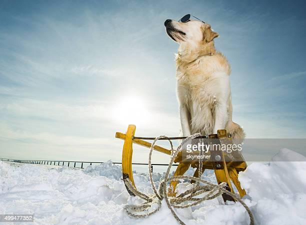 Golden retriever on sledge during winter season.