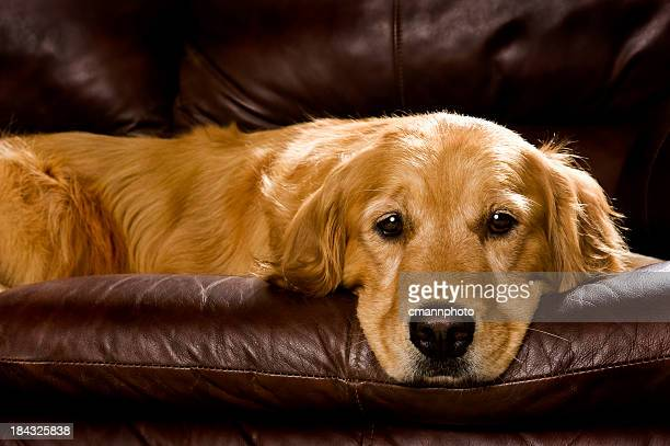 golden retriever on sofa - cmannphoto stock pictures, royalty-free photos & images