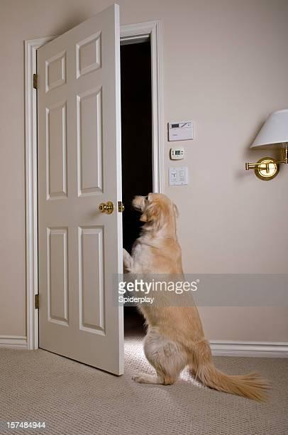Golden Retriever öffnen Tür