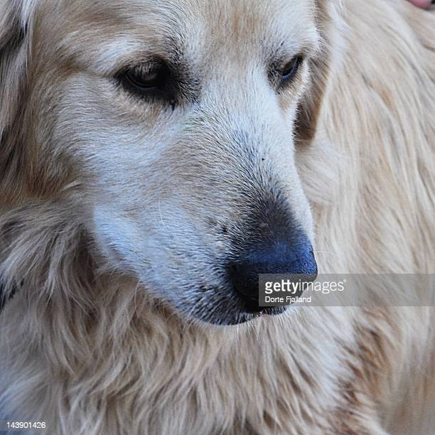 golden retriever - dorte fjalland photos et images de collection