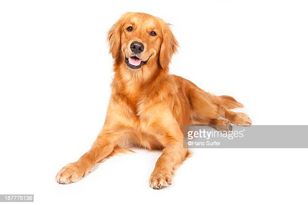 golden retriever! - golden retriever stock pictures, royalty-free photos & images