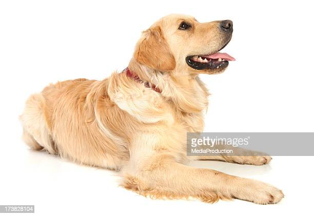 golden retriever - golden retriever stock pictures, royalty-free photos & images