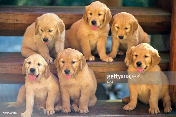 golden retriever - medium group of animals stock pictures, royalty-free photos & images