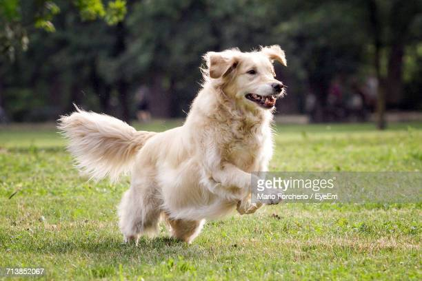 golden retriever playing on grassy field - golden retriever stock pictures, royalty-free photos & images