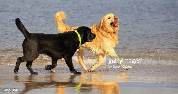 golden retriever playing with a black labrador - dogs tug of war stock pictures, royalty-free photos & images