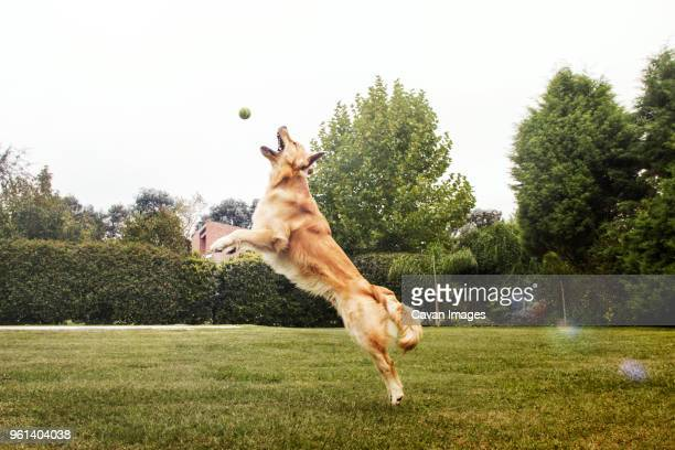 golden retriever playing with ball on grassy field at park - golden retriever photos et images de collection