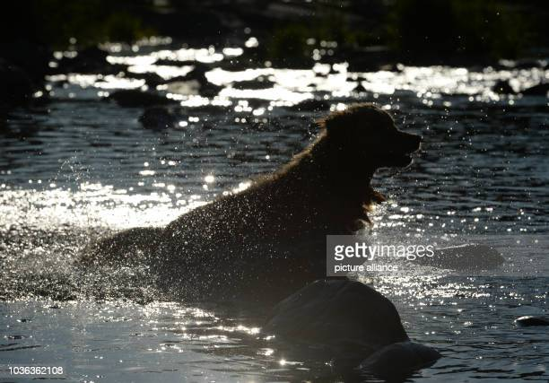 A Golden Retriever plunges into the Dreisam river at sunset in Freiburg Germany 03 August 2015 During the socalled 'Dog Days' temperatures in the...