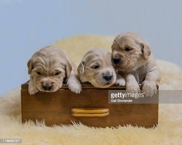 Golden Retriever Puppies in Drawer