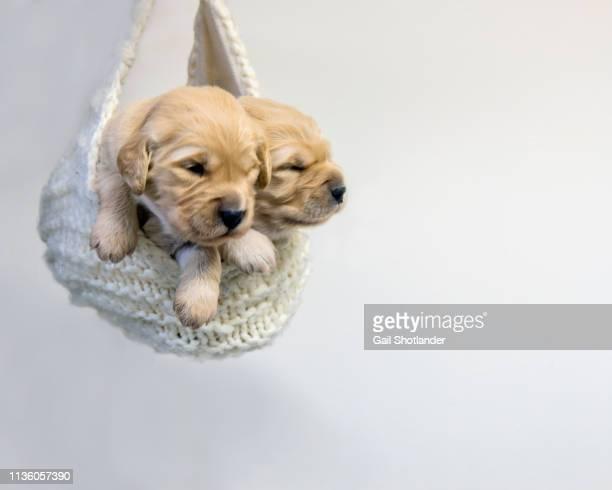 Golden Retriever Puppies in Pouch