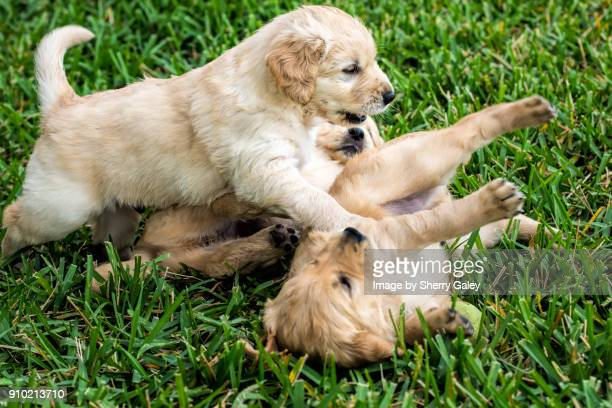golden retriever puppies playing in the grass - rough housing stock photos and pictures