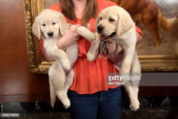 Golden Retriever puppy and a Labrador Retriever puppy of The American Kennel Club's Most Popular Breeds Nationwide for 2017 are shown at AKC...