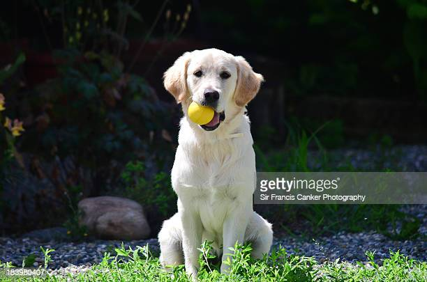 Golden Retriever puppy at 5 months ready to play