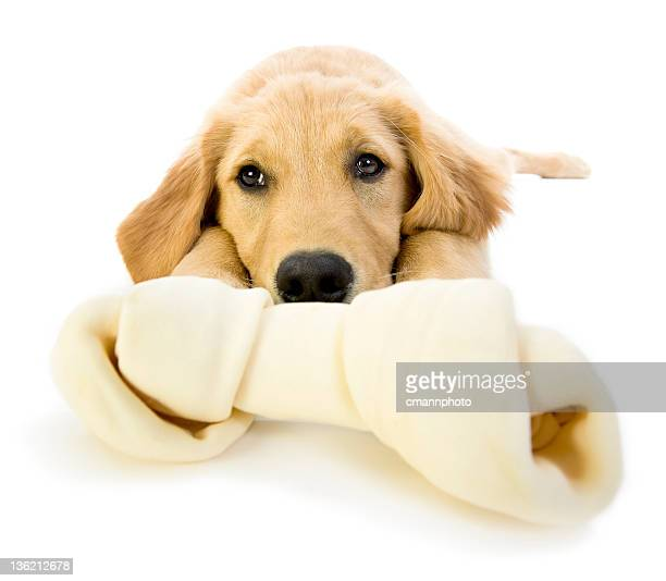 Golden Retriever Puppy bored with a rawhide